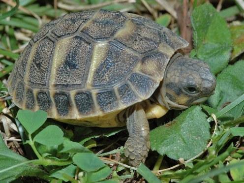 Tartaruga wikifur for Termostato tartarughe acqua