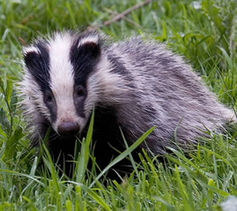 File:Badger-3.jpg
