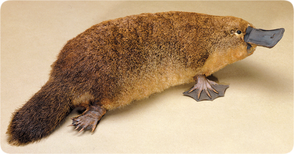 File:Lifesciences-platypus.jpg
