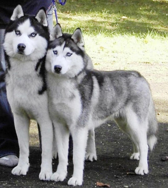 File:Siberian-husky-pictures.jpg