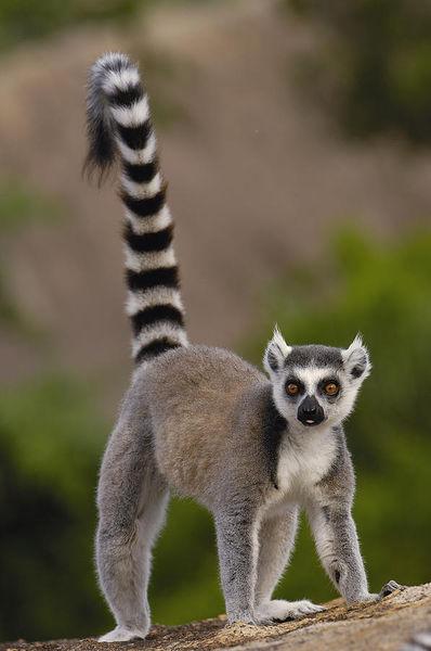 Q Son Los Lemures Lemure - WikiFur