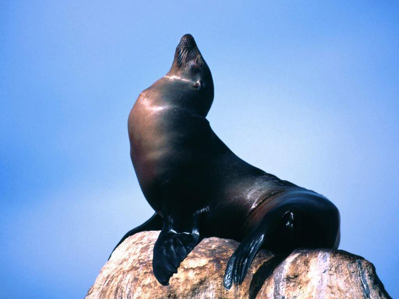 File:Foca-de-california.jpg