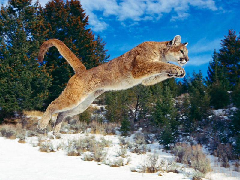 File:Red-puma-jumping.jpg
